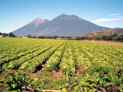 Lettuce & vegetable field