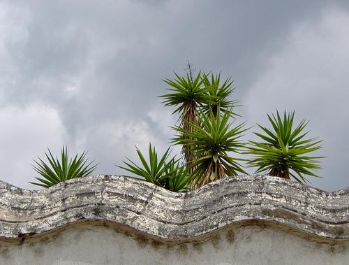 Palo de Izote trees