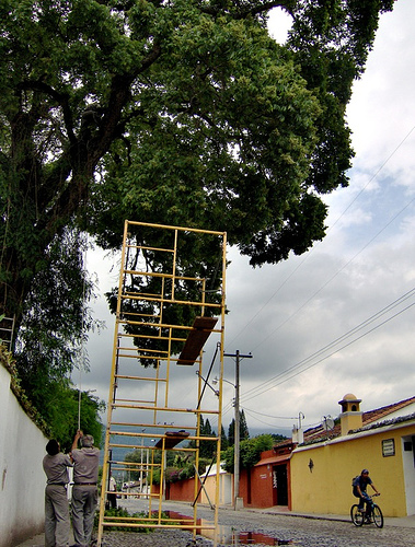 Trimming tree in Antigua