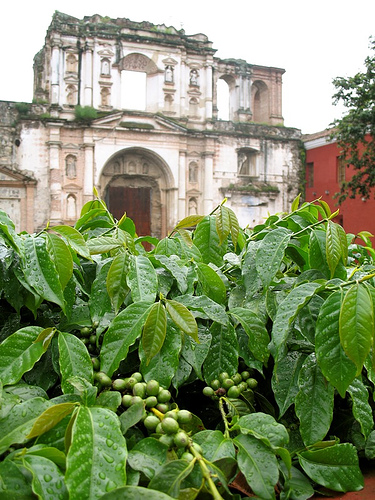 Guateflora: Coffee Bushes used as Hedge