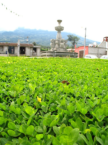 Guateflora: Falsa Maní­a (false peanut)