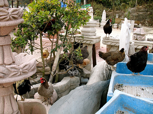 Garden Chickens or Gallinas del Paí­s