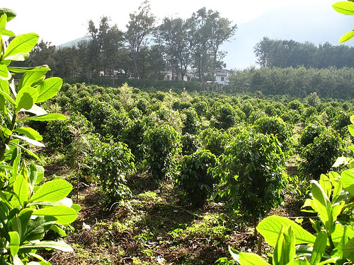 Coffee Field Behind the San Lazaro Cemetery