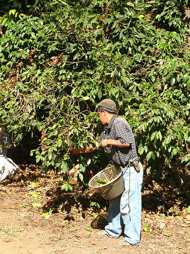 Time to harvest the coffee in La Antigua Guatemala