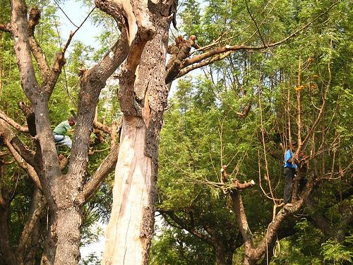 Pruning the Gravilea Trees