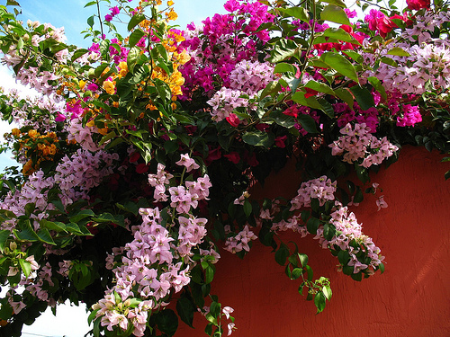 Bougainvillea Desktop Wallpaper from Antigua Guatemala