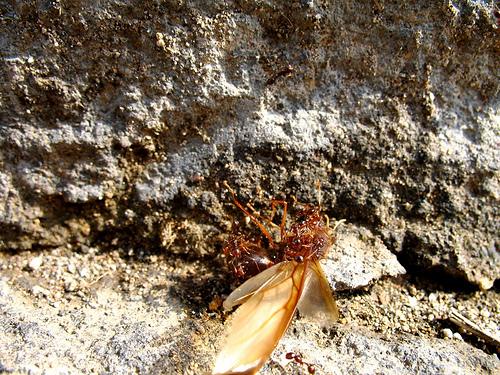 Guatemalan Sompopo Ant versus Ordinary Ants