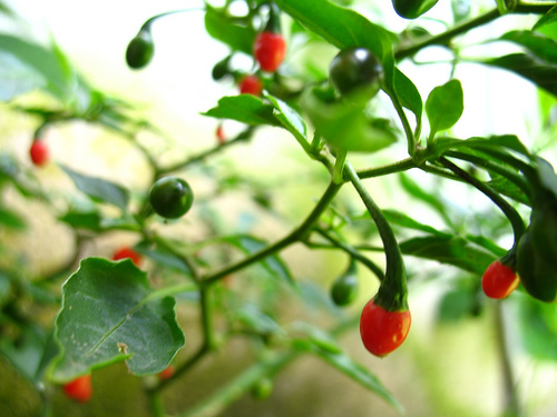 Guatemalan Red Hot Chili Pepper: Chiltepe
