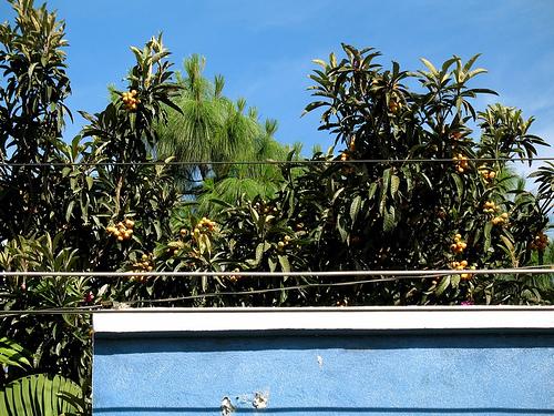 Nispero Tree in the Garden