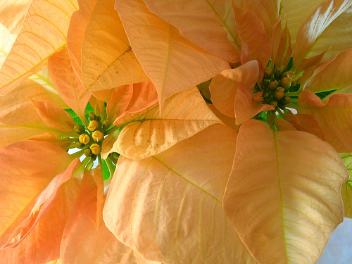 Yellow Guatemalan Poinsettias Wallpaper