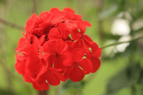 Jardín Antigüeño: Geranios Rojos