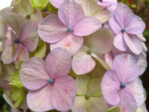 Jardín Antigüeño: Hortensias