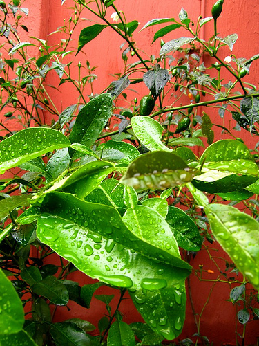 Rainy Season Vistas: Rain Drops and Chiles