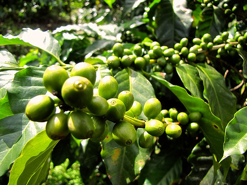 Guatemalan Coffees Are Truly Green by Rudy Girón