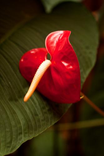 Guateflora: Corazón Chino or Anturios by Rudy Girón