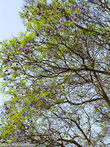 Jacaranda Tree at Central Park by Rudy Girón