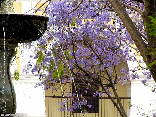Plaza Mayor Fountain and Jacaranda tree by Rudy Girón
