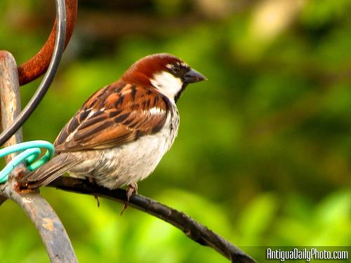 Antigua Birdingg by Rudy Girón