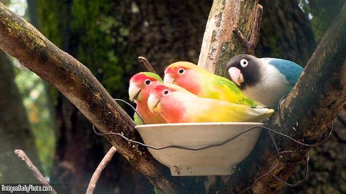 Guatemalan Parrots