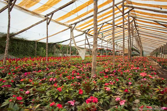 Rudy Giron: 1305 Cultivo de flores &emdash; Cultivo de flores en invernadero