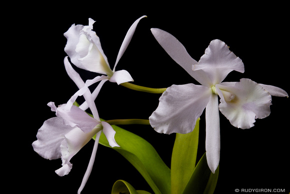 Rudy Giron: Flowers of Guatemala &emdash; Orquídea blanca de Guatemala