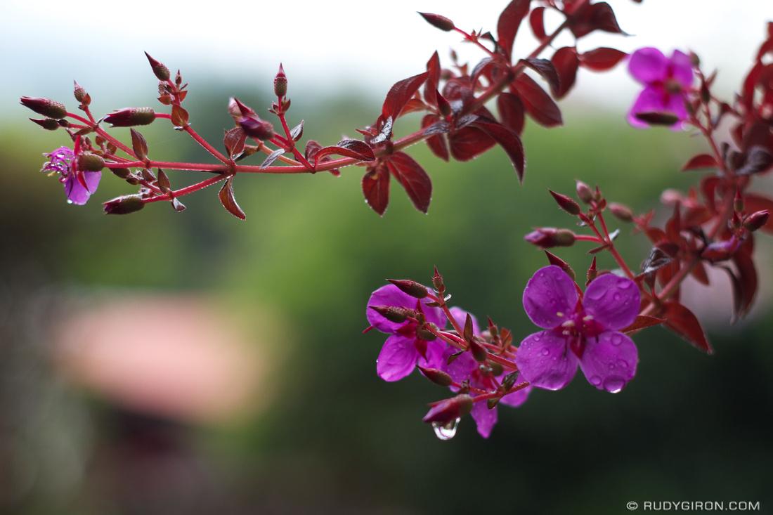 Rudy Giron: Flowers of Guatemala &emdash; Guateflora: Coqueta flower