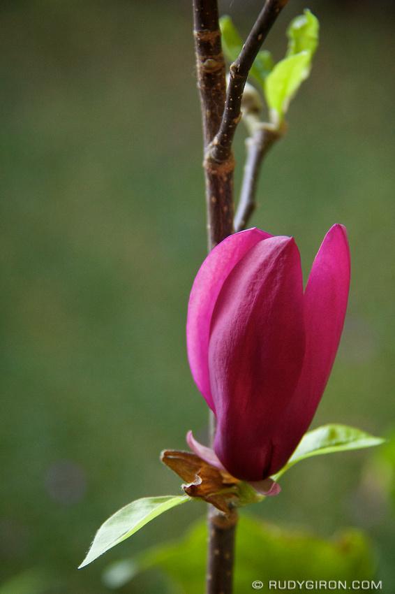 Rudy Giron: AntiguaDailyPhoto.com &emdash; Magnolia flower