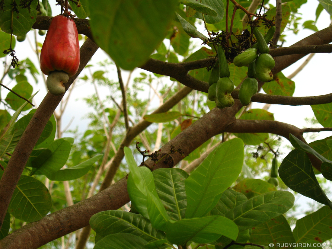 Guatemalan Fruit: Cashew Apple Tree – AntiguaDailyPhoto.Com