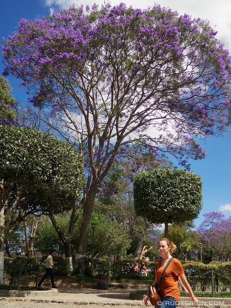 Rudy Giron: Antigua Guatemala &emdash; Jacaranda Trees at Parque Central, Antigua Guatemala