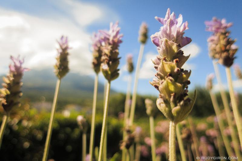 Rudy Giron: Antigua Guatemala &emdash; Lavender Blooms During Fall in La Antigua Guatemala